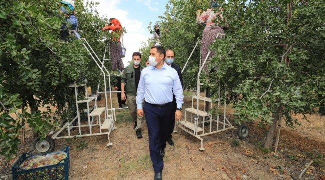 Vali Mustafa Masatlı, Amasya'nın önemli tarım ürünlerinden birisi olan ...