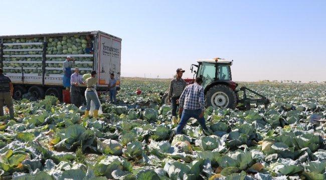 Niğde beyaz lahanada Türkiye birincisi