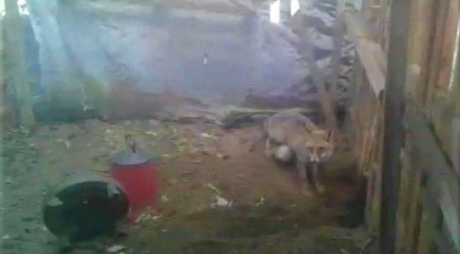 Amasya'da tavuklarının bulunduğu kümesine giren tilkiyle karşılaşan çif...