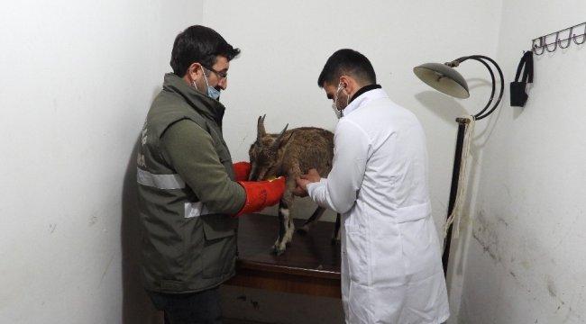 Artvin'de karayolu kenarında bitkin halde bulunan yavru yaban keçisi, D...