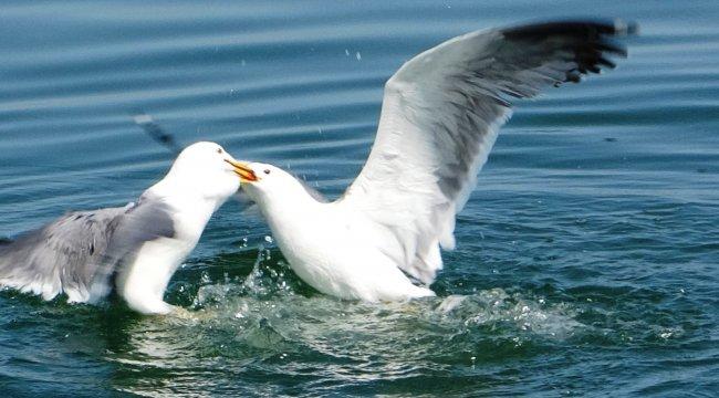 Dünyanın en yırtıcı kuşları arasında yer alan martılar, Van Gölü'nde ya...